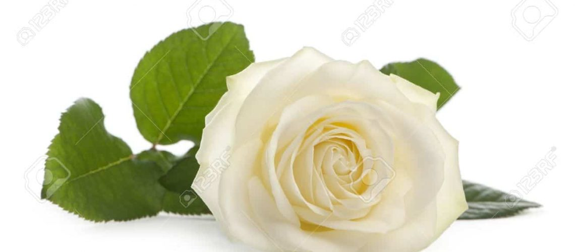 9749806-A-single-white-Rose-lying-down-on-a-white-background-Family-Rose-Avalanche-Stock-Photo