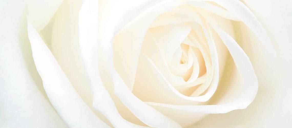 white-rose-5
