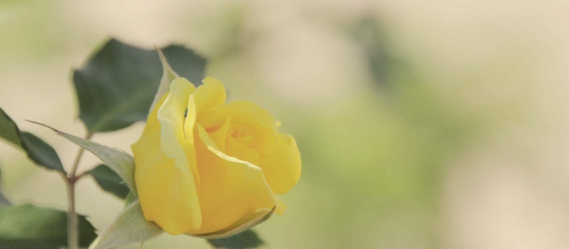 yellow-rose-wallpaper-background-10351-10765-hd-wallpapers